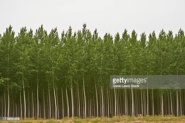 Forest of Poplar trees