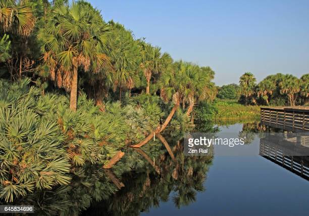 a forest of sabal palmetto also called cabbage palm and clumps of saw palmetto (serenoa repens) - palmetto florida stock pictures, royalty-free photos & images