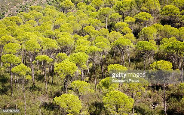 Forest of stone or umbrella pines Pinus pinea in the Rio Tinto river valley Minas de Riotinto Huelva Spain
