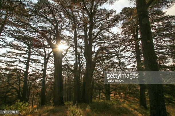 forest of the cedars of god, lebanon - libanon stock-fotos und bilder