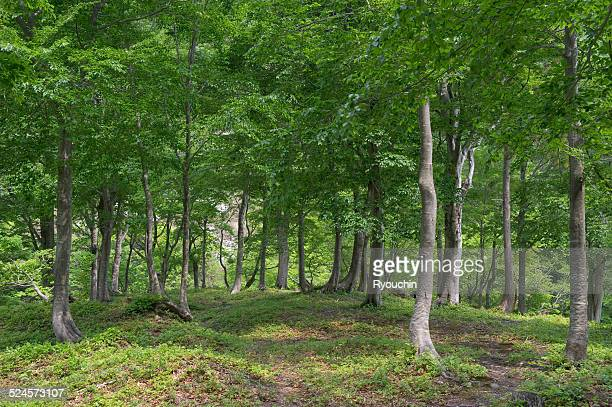 Forest of the Japanese beech