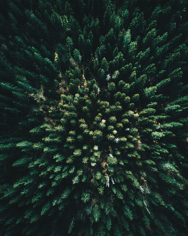 Forest of tree pines aerial view 874940590