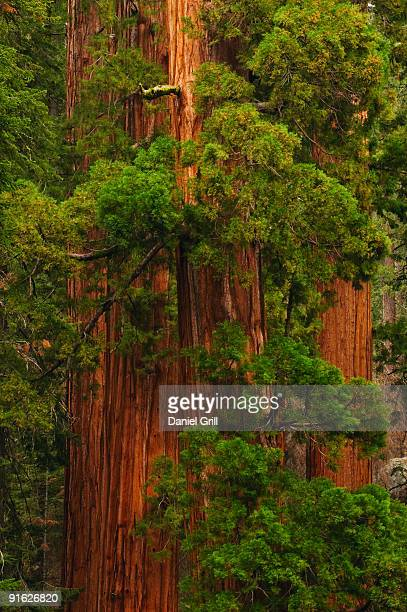 a forest of trees - sequoia national forest stock photos and pictures