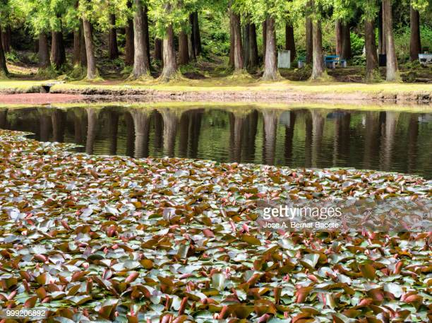 Forest of trees reflected in water of a lake in of the Terceira Island in the Azores islands, Portugal.