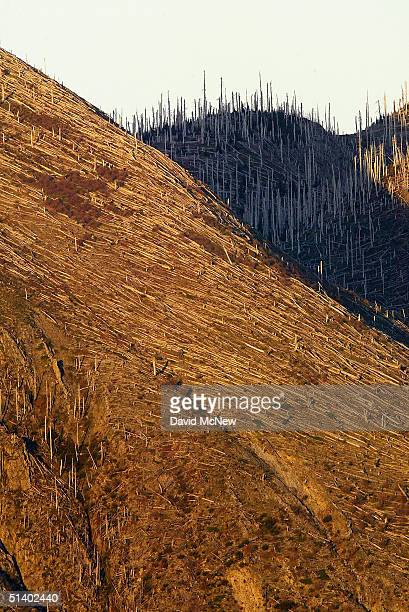A forest of trees that were blown over by the blast of the 1980 eruption of Mount Saint Helens volcano are still seen as a new eruption is believed...