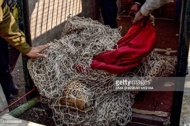 Forest officials rescue an injured leopard that was trapped in barbed wire in an Army shooting area on the outskirts of Bhatoli in Jabalpur on...