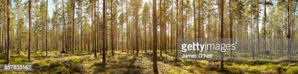 forest panoramic - panoramic stock pictures, royalty-free photos & images