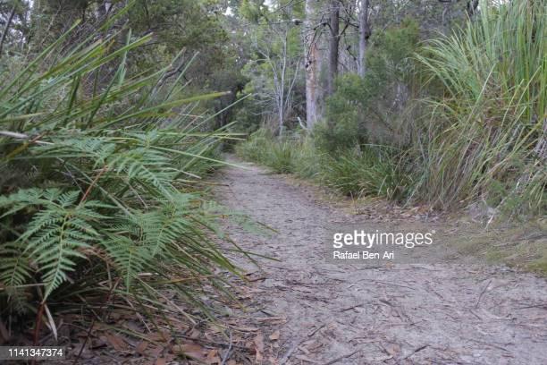 forest path in tasmania australia - rafael ben ari - fotografias e filmes do acervo