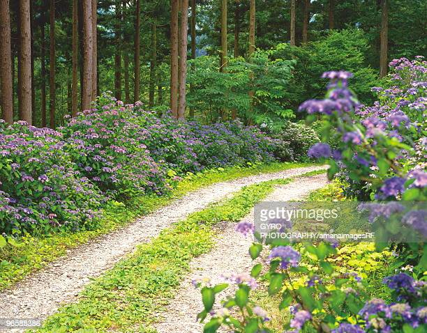 Forest path lined with hydrangea bushes