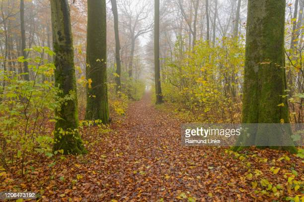 forest path with morning mist in autumn, katzenbuckel, odenwald, baden-württemberg, germany - baden württemberg foto e immagini stock