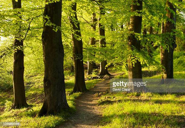 Forest pathway in early morning light, Ivinghoe, Chilterns, Buckinghamshire, England, UK