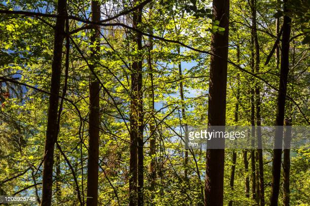 forest - berchtesgaden stock pictures, royalty-free photos & images