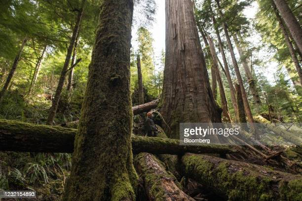 Forest protector stands next to the trees near Port Renfrew, British Columbia, Canada, on Tuesday, April 6, 2021. Demonstrators at old-growth logging...