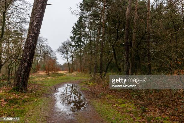 forest puddle - william mevissen stock photos and pictures
