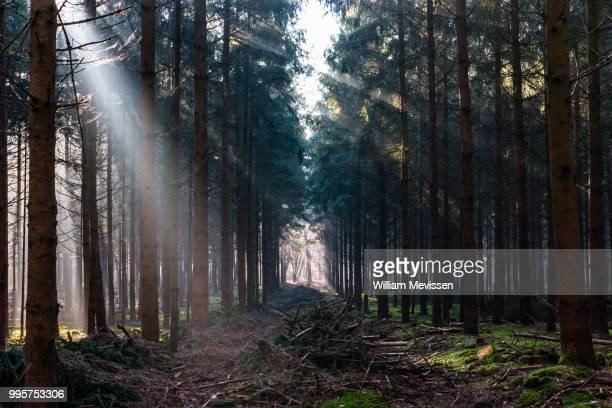 forest rays - william mevissen fotografías e imágenes de stock