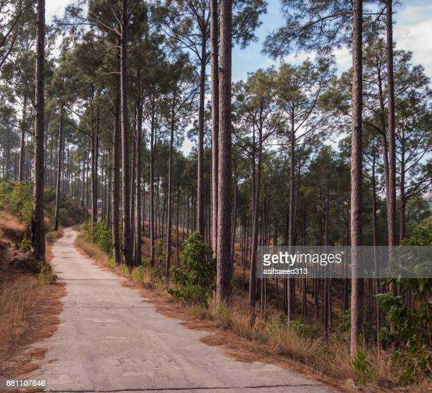 forest road - pinaceae stock photos and pictures