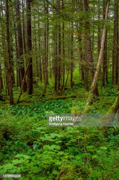 Forest scene at Idaho Inlet on Chichagof Island, Tongass National Forest, Alaska, USA.