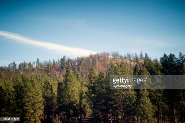 forest scene in eastern oregon - pine woodland stock pictures, royalty-free photos & images