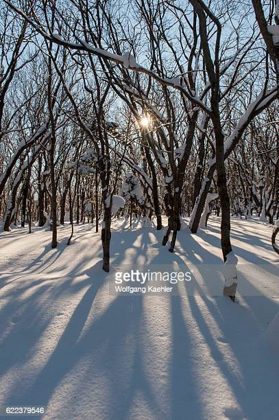A forest scene in the winter with snow and a sunburst in Abashiri Shiretoko National Park Shiretoko Peninsula on Hokkaido Island Japan