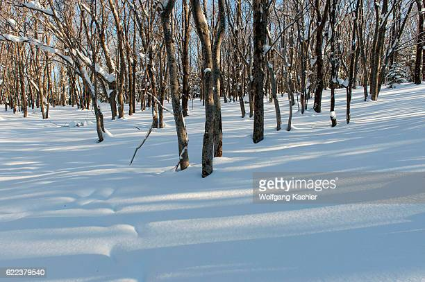 A forest scene in the winter with snow in Abashiri Shiretoko National Park Shiretoko Peninsula on Hokkaido Island Japan