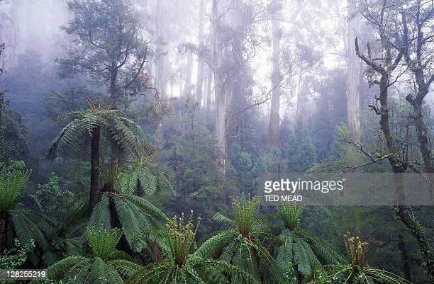forest scene with fern trees in foreground,tarra-bulga national park