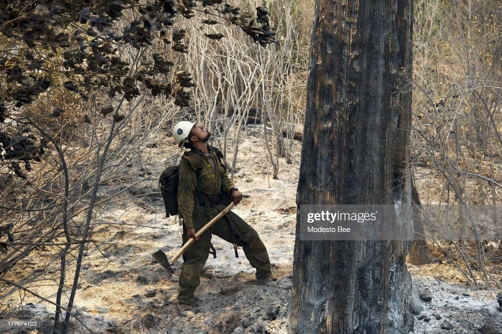 U.S. Forest Service firefighter Juan Rodriguez checks the stability of a burned out tree at the Rim Fire in the Stanislaus National Forest in California, Tuesday August 20, 2013.