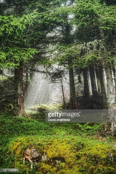 Forest Sonnenstrahl