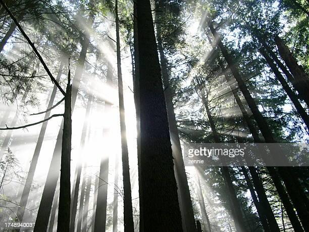 Forest Sonnenstrahlen