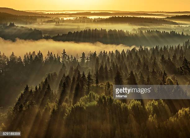forest sunbeams - spruce tree stock pictures, royalty-free photos & images