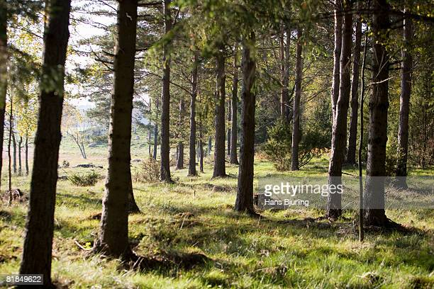 A forest Sweden.