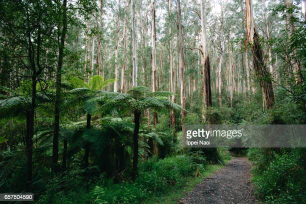 forest trail of dandenong ranges national park, victoria, australia - dandenong stock photos and pictures