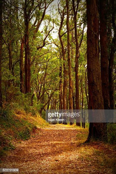A forest trail through the Dandenong Ranges