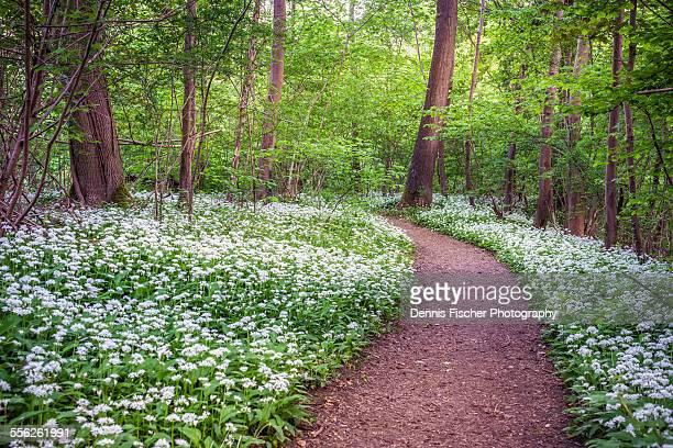 Forest trail with wild garlic