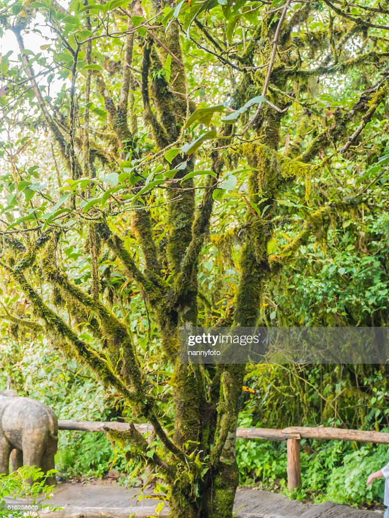 forest trees doi inthanon national park in chaing mai, thailand : Foto de stock