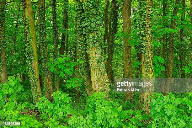 Forest Trees entwined with Ivy