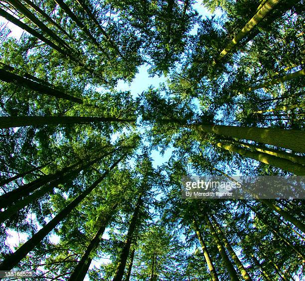 forest trees, oregon - eugene oregon stock photos and pictures