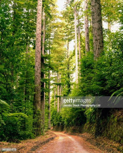 Forest trees over dirt path