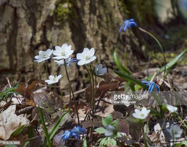 Forest Wildflowers:  Hepatica