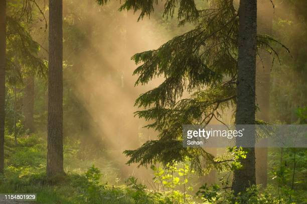 forest with a spruce in the summer in evening light with fog - spruce tree stock pictures, royalty-free photos & images