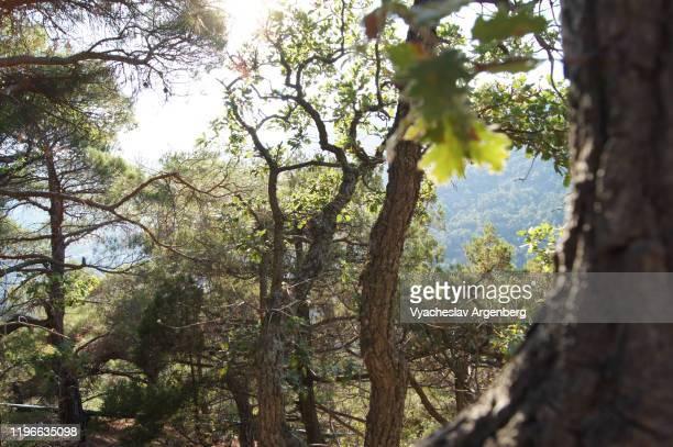 forest with endemic pine trees, crimea - argenberg photos et images de collection
