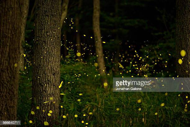 Forest with Fireflies