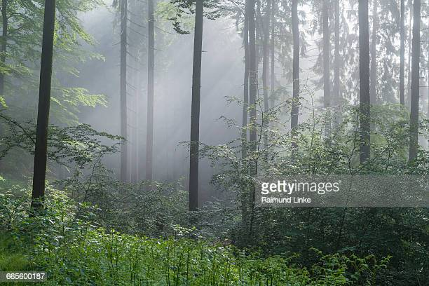Forest with haze and sunbeams