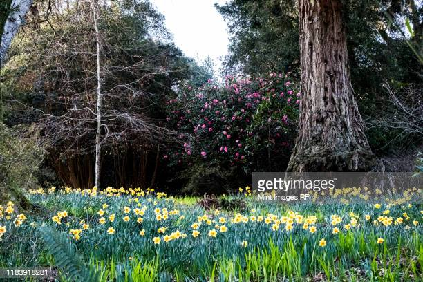 forest with meadow of daffodils, pink rhododendron and trees. - daffodils stock pictures, royalty-free photos & images