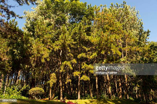 Forest with pine trees on the Zomba Plateau in Malawi.