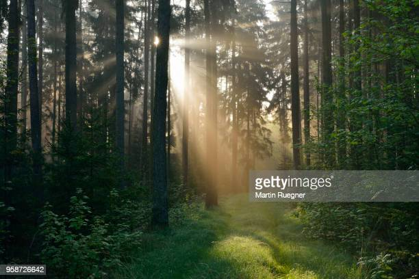 forest with sunbeams and mist. franconia, bavaria, germany. - morgen stock-fotos und bilder