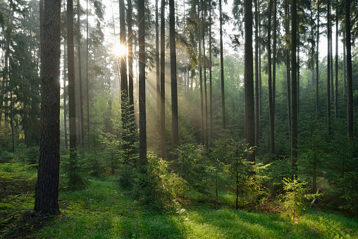 Forest with sunbeams and mist. Franconia, Bavaria, Germany. - gettyimageskorea