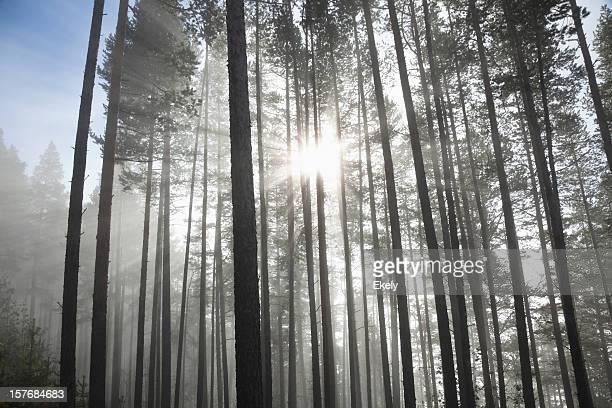 Wald mit Badehose der indirekt beleuchteten Palmen in Nebel.