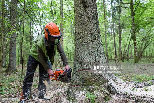 Forest workers are seen cuting down a spruce attacked by woodworm in Bialowieza Forest on May 31 2016 near Bialowieza Today this peaceful haven is...