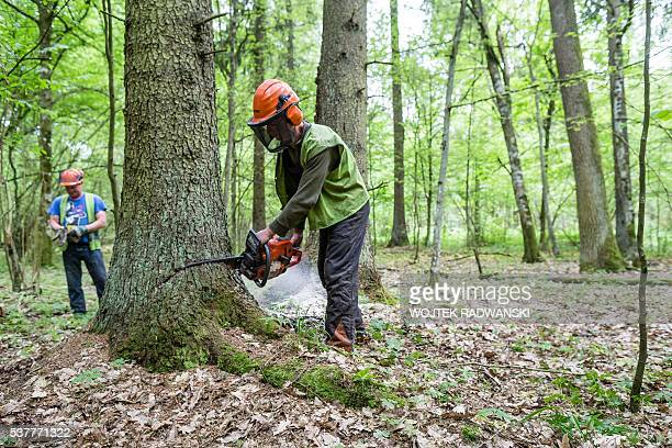 Forest workers are seen cuting down a spruce attacked by woodworm in Bialowieza Forest on May 31, 2016 near Bialowieza. Today, this peaceful haven is...