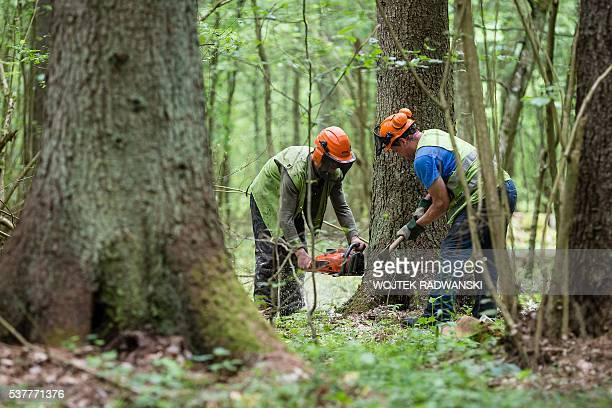Forest workers cut down a spruce attacked by woodworm in Bialowieza Forest on May 31, 2016 near Bialowieza. Today, this peaceful haven is the scene...